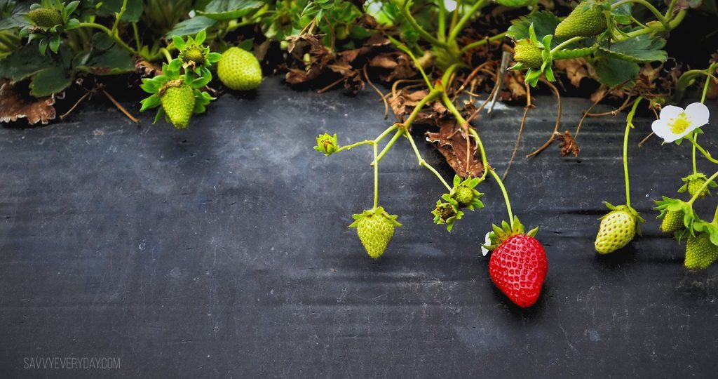 strawberry to be picked
